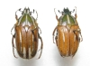 Gnathocera abyssinica couple