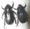 Coenochilus costipennis couple A1