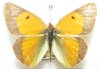 Colias electro pseudohecate A- male